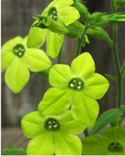 50+ GREEN NICOTIANA FRAGRANT FLOWER SEEDS  / RESEEDING ANNUAL / FRAGRANT