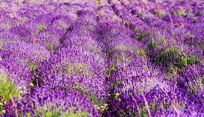Lavender Fields Fragrance Candle / Soap Making Fragrance Oil 1-16 Ounce