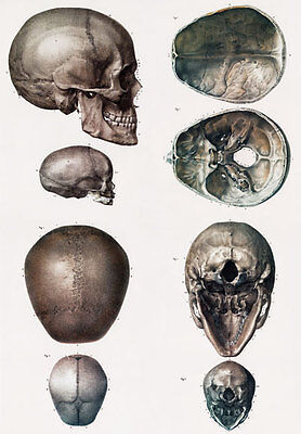 ML12 Vintage 1800's Medical Human Adult Infant Child Skull Poster RePrint A4