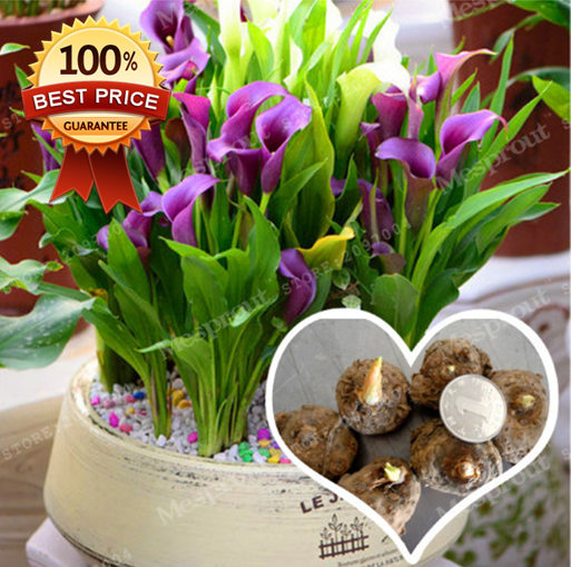Calla Lily Mix 3 Bulb Ideal For Pots And Planters Cut Flowers