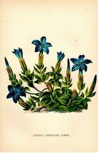 Lithographie-Gentiana-Original-1896-Bild-Motiv-Flora-Alpen-Gartenpflanze-Enzian
