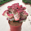 Succulent-Cactus-Live-Plant-Euphorbia-Neriifolia-Var-cristata-10cm-Rare-Plants thumbnail 1