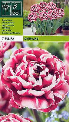 """Rarität: Gefüllte Tulpe """" Drumline """" (7) (Bitte Beschreibung lesen.)"""