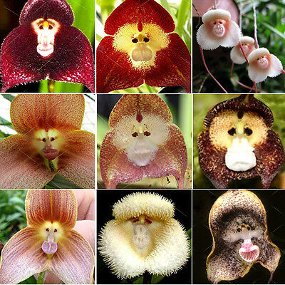 10X Orchidee Blumen Samen Saatgut gemischt Monkey Face Affe Gesichtb NEU~