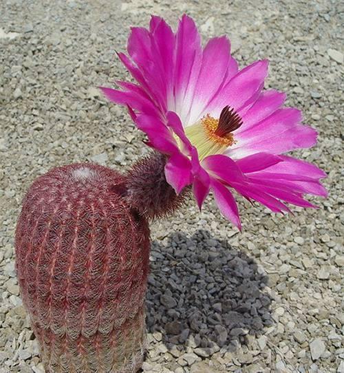 Echinocereus Rigidissimus V Rubispinus (10 SEEDS) Rare Cactus Korn Samen 種子 씨앗