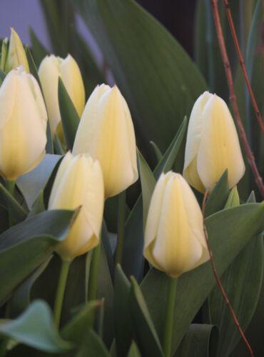 20 oder 50 Tulpen Purissima Tulpenzwiebeln Blumenzwiebeln  Lieferbar 9.9. 10