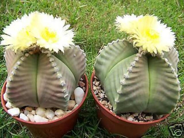 Astrophytum cv KIKO nudum myriostigma exotic hybrid rare cactus cacti 200 SEEDS