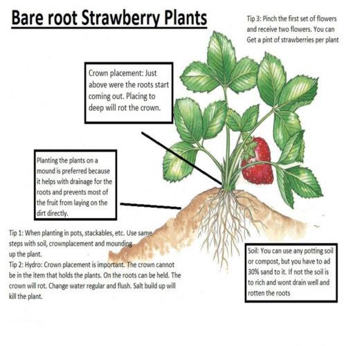Non GMO Evie Strawberry Plants 25 Buy 3 Get 1 Free