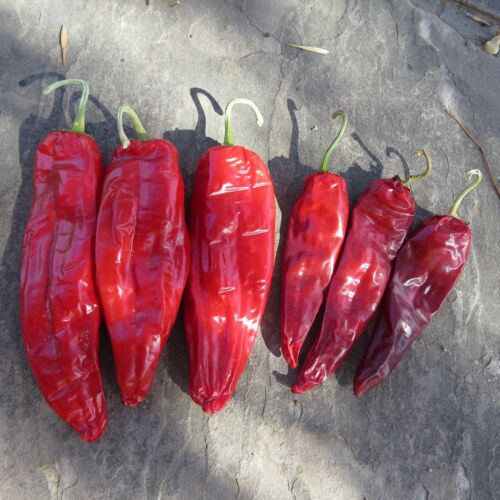 largest strain of native chile Maria Elena new from J/&L Gardens