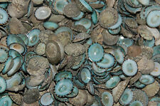 10 Quality Hand Picked Green Limpet Shells