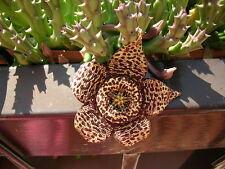 Orbea variegata - Starfish Flower - 10 Fresh Seeds