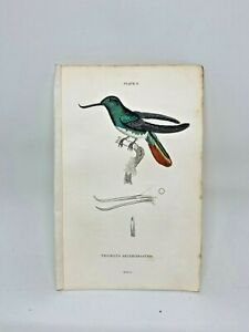 1st-Ed-Hand-colored-Jardine-039-s-Natural-History-1834-Recurve-Hummingbird-3