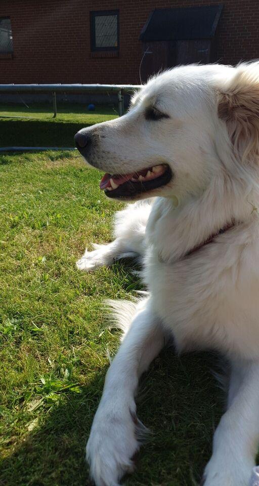 Golden retriver/samojede, hund, 2 år