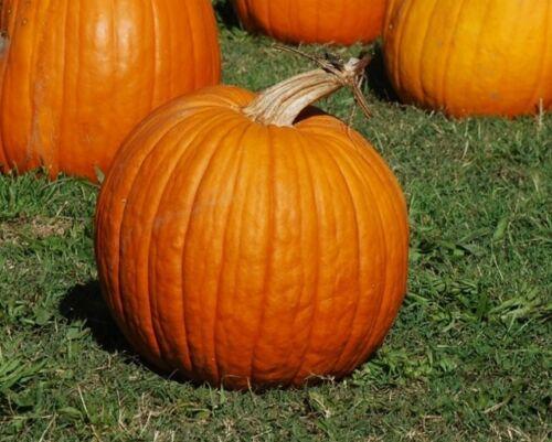 40 Connecticut Field Pumpkin Seeds Fall Medium Growth Halloween Pie