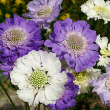 Kings Seeds - Scabiosa - Caucasica Issac House Hybrids Mix - 35 Seeds