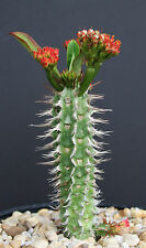 Euphorbia Viguieri v ANTSALOVENSIS exotic flowering madagascar rare seed 5 seeds