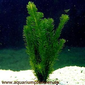 10 bund wasserpest f r aquarium oder gartenteich wasserpflanzen gegen algen ebay. Black Bedroom Furniture Sets. Home Design Ideas