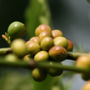 100pcs-Hawaiian-Kona-Coffee-Bean-Seeds-Awesome-Easy-to-Grow-Garden-Plant-Seeds