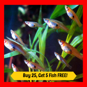 25-Live-Gambusia-Mosquito-Fish-Aquarium-Pond-Feeder-Fish-Hardy-Guppy-Pet-Food