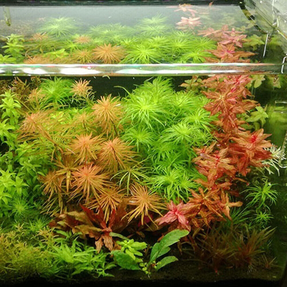 300/500Pcs Aquatics Plant Seeds Aquarium Underwater Moss Grass Stem Decor Boil Fish & Aquariums