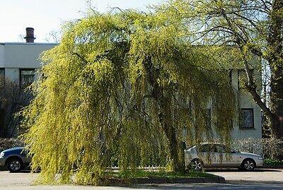 Betula Pendula - Youngii 50 Plus Seeds- A Real Beautiful Weeping Tree