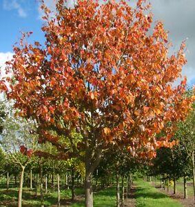 Parrotia Persica Vanessa Ironwood Tree In 9cm Pot Ebay