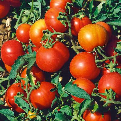 Tomato Sub Arctic Plenty 30 seeds #8274