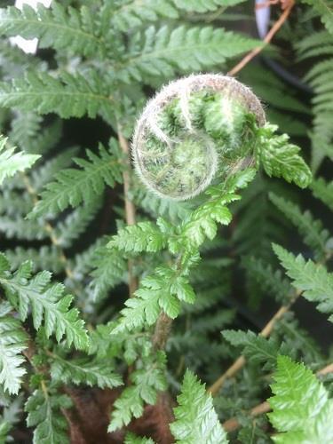 2 x Dicksonia antarctica,hardy exotic Tasmania tree fern P9