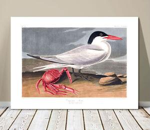 """FAMOUS BIRD ART ~ CANVAS PRINT 24x16"""" ~ JOHN AUDUBON ~ Cayenne Tern & Crab"""