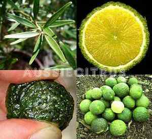 BUY-1-GET-1-FREE-GYMPIE-LIME-NATIVE-ORANGE-Plant-CITRUS-Bush-Tucker-Fruit-tree