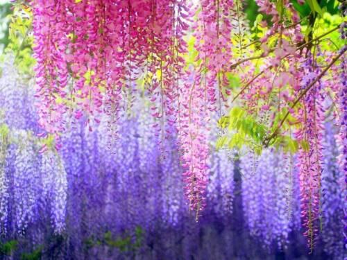 1 Pack 10 Blue Japanese Wisteria Seeds Wisteria Vine Flower Seeds S030