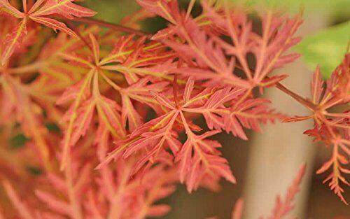 35 ORANGEOLA JAPANESE MAPLE TREE LACELEAF ** SEEDS ** RARE ORNAMENTAL BONSAI