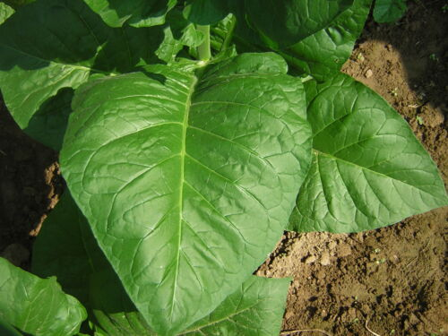 3000 Tobacco seed 3 varieties 1000 each virginia gold del gold burley homegrown