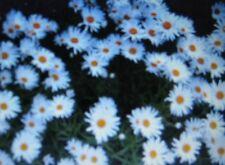 SHASTA DAISY * ALASKA * BELOVED FLOWER * ATTRACTS BUTTERFLIES *