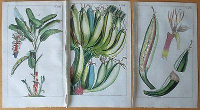 WILHELM: Botanical Engraving Palm Banana 3 Prints - 1810