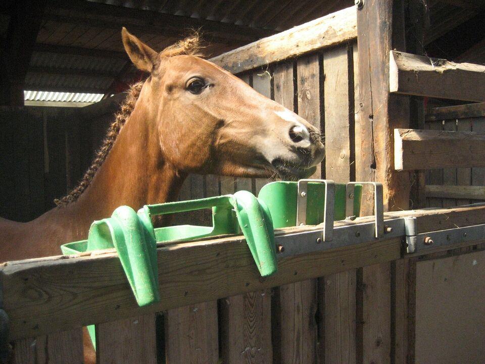 Dansk Sports Pony, hoppe, 14 år