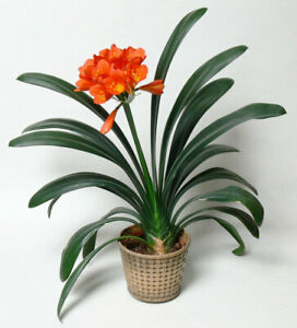 100Pcs-Clivia-Flower-Seeds-7-Kind-Rare-Bonsai-Mixed-Colors-Potted-Aroma-Plants