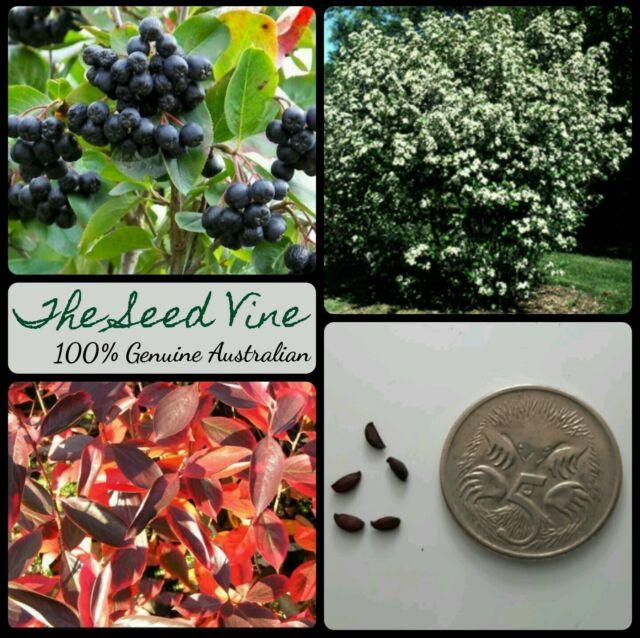 20+ BLACK CHOKEBERRY SEEDS (Aronia melanocarpa) Fast Growing Shrub Edible Fruit