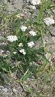 500 Semillas de Milenrama (Achillea millefolium) seeds