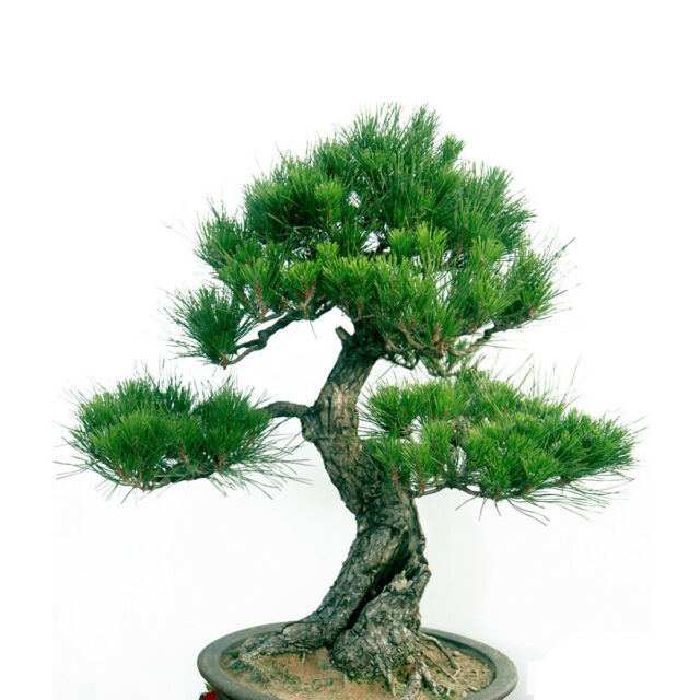20pcs Japanese White Pine Pinus Parviflora Green Plants Tree Bonsai Seeds HOT!!!