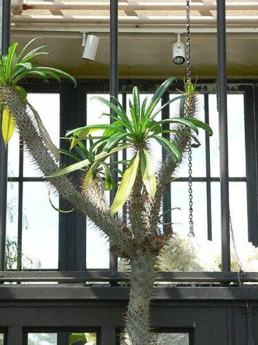 Madagassische Palm Pachypodium Geayii 10 Samen