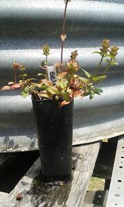 Details about 1 x self heal plant - tube size prunella vulgaris perennial  healing herb