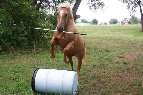 THE SHORTER 42 INCH THOMEY NATURAL HORSE TRAINING STICK~ SUPERB BALANCE~WHITE