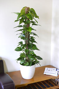 Indoor-Plant-House-or-Office-Plant-Scindapsus-aureus-Devil-039-s-Ivy-50cms-Tall