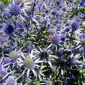 Sea-Holly-Eryngium-Blue-100-Seeds-BOGO-50-off-SALE