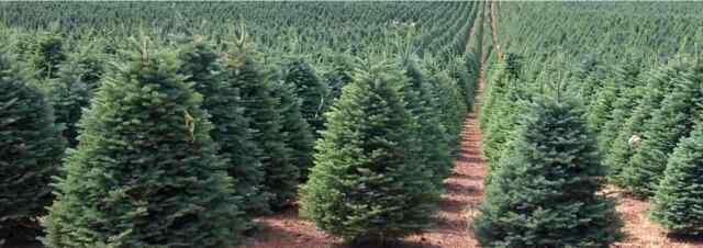 Noble Fir Christmas Tree.20 X Noble Fir Christmas Tree Seeds