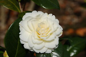 Camellia golden anniversary whitepale yellow flowers evergreen image is loading camellia 039 golden anniversary 039 white pale yellow mightylinksfo