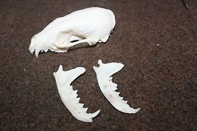 Real Porcupine Skull Beetle Cleaned Taxidermy Art **YOU CHOOSE SIZE**