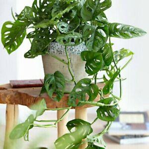 50 Pcs Seeds Monstera Opliqua Evergreen Hybrid Unusual Indoor Plant Perennial