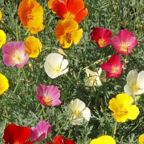 25 grams Eschscholtzia Californica Californian Poppy appx 16,000 seeds